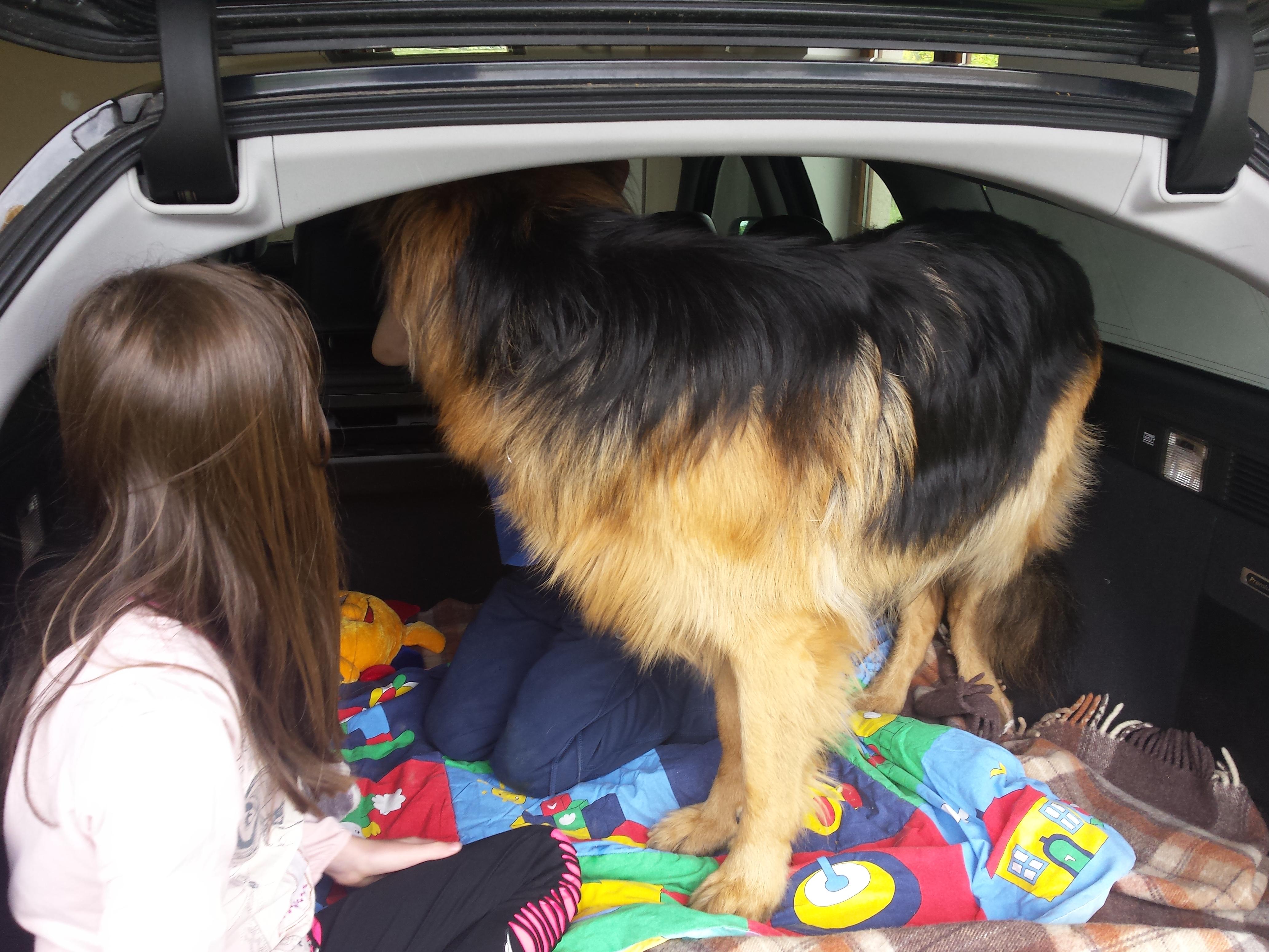 jak nauczyć pasa jeździć w bagażniku